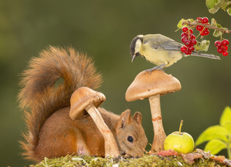 tit on mushroom with red squirrel beneath