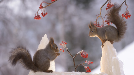 squirrels standing on snow with berry branches