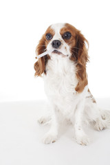 Beautiful friendly cavalier king charles spaniel dog. Purebred canine trained dog puppy. Blenheim spaniel dog puppy smoking cigarette thug life dog or poison danger. Cute,