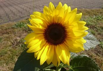 Sonnenblume (Helianthus annuus) in Nahaufnahme