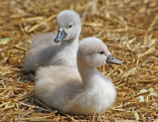 Mute Swan siblings resting on a nest of straw.   One week old
