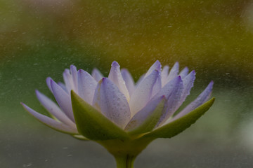 The beautiful blossoming lotus flower closeup in summer.