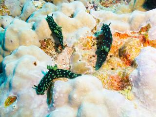 Philippines. Nembrotha cristata (Crested nembrotha) on bright coral, undersea macro