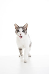 Domestic cat on isolated white background. Cat walking and licking mouth for wanting food. Cute.