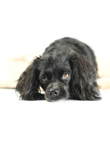 Little black dog in studio with white background