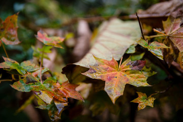 Close-Up Of Autumn Leaves Hanging From Branch Of Tree