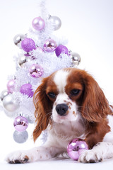 Christmas animal christmas dog pet. Beautiful friendly cavalier king charles spaniel dog. Purebred canine trained dog puppy. Blenheim spaniel dog puppy celebrate christmas. Christmas tree and dog