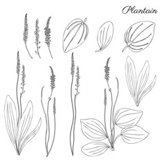 Great plantain, Plantago major medicinal plant wild field flower isolated on white backdrop, hand drawn vector doodle ink sketch illustration for design package tea, cosmetic, medicine, greeting cards