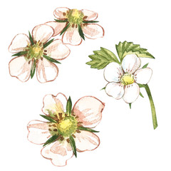 Strawberry flowers. Hand drawn watercolor painting illustration.