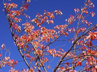 青空と桜の枯れ葉