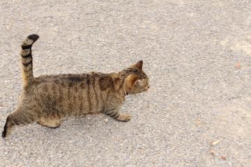 Silver tabby cat walking on the street
