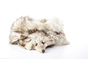 Silver fox fur boa. Stop killing animals. Silver fox. Dead silver fox fur. Sad fox. Sad fox face. Fur.