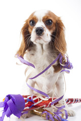 Happy new year Illustrate your work with king charles spaniel New year illustration. Dog celebrate New year's eve with sylvester trumpet. Beautiful friendly cavalier king charles spaniel dog. Purebred