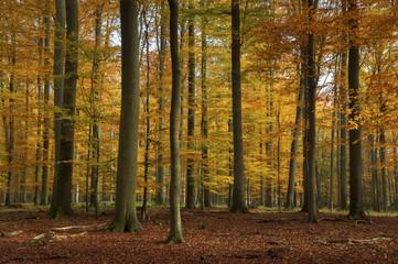 Autumn forest, Schorfheide, Germany