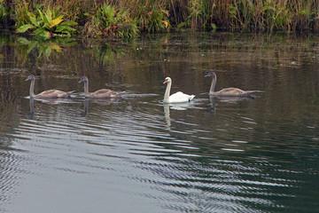 graceful swans swim in the lake