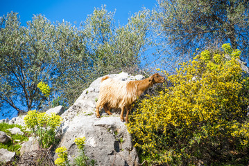 Mountain goats (Capra) on the southern coast of Turkey in the province of Antalya