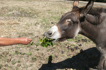 Human hand feeding donkey with twig of green fresh leaves