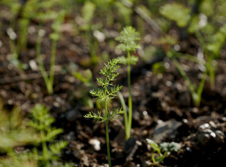 Young fennel plants on natural organic soil