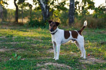 Dog breed smooth-haired fox terrier