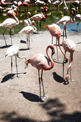 many pink and white flamingos in the wild