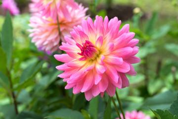 Keuken foto achterwand Dahlia Single Beautiful Soft Pink Dahlia Flower Background