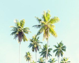 Wall Mural - Coconut palms against the blue sky.  Toned image