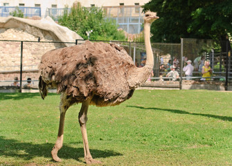 The ostrich or common ostrich (Struthio camelus) in zoo