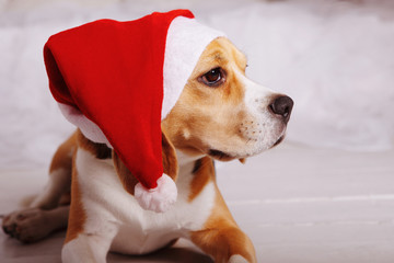 cute beagle in Santa