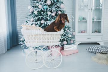 cute dog sitting in a stroller near Christmas tree