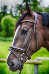 portrait of brown horse on farmland