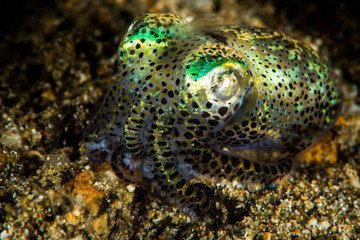 berry bobtail squid