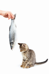Pretty kitten looking at sea bass fish which gives it a female hand on a white background