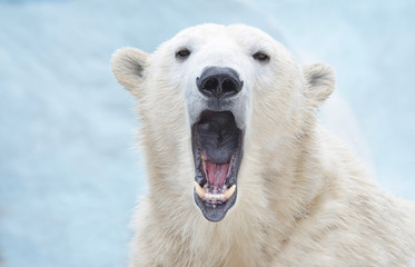 Белый медведь зевает.