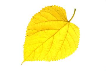 single autumn yellow leaf isolated on white background