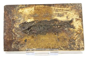 Thaumaturus intermedius fish fossil from Messel Pit near Darmstadt, Germany