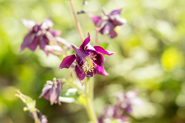 Tender violet aquilegia flowers on the sunny weather. Beautiful summer background. Copy space.