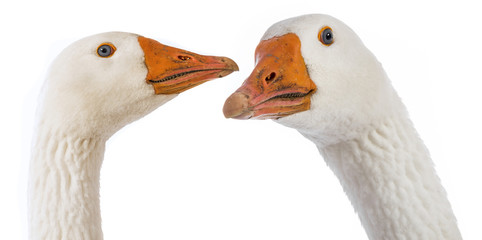 white geese (Anser anser domesticus) isolated on a white background