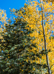 Aspen Tree Fall Colors: Flagstaff Arizona, Inner Basin Trail