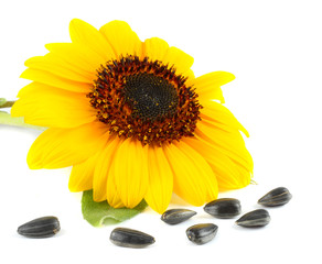 Sunflower with green leaf and seeds isolated on white background