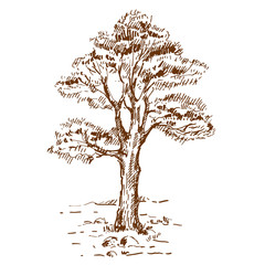 Hand drawn pine tree. Sketch on white background. Vector illustration.