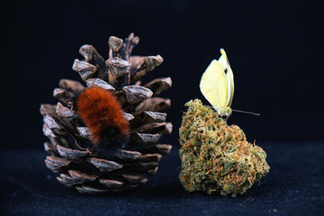 Detail of butterfly sitting on cannabis nug isolated over black