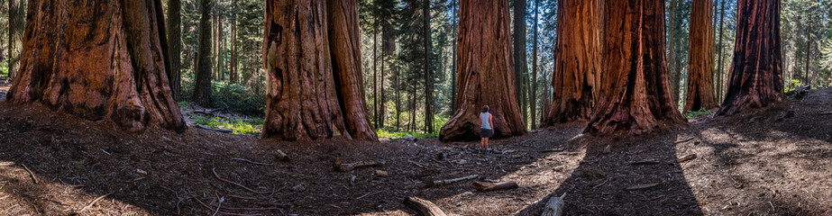Panorama of Woman in Sequoia Grove