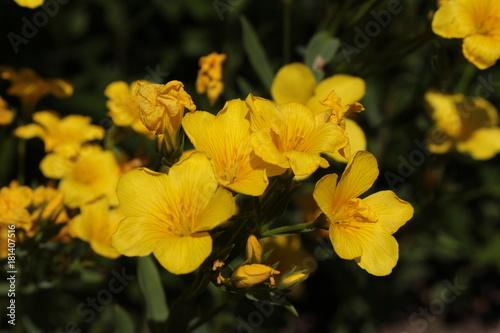 Golden flax flower or yellow flax gelber lein crimean flax gold golden flax flower or yellow flax gelber lein crimean flax mightylinksfo