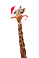 Christmas Giraffe With Candy Cane
