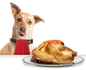 Dog Hungry for Thanksgiving Turkey