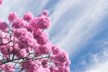 O ipê-rosa (Handroanthus impetiginosus) é uma árvore brasileira, que floresce abundantemente de Junho a Agosto, e prefere climas mais quentes.