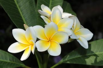 "Yellow and white ""Frangipani"" flowers (or Plumeria, Jasmine Mango) in St. Gallen, Switzerland. Its Latin name is Plumeria Rubra (Syn Plumeria Acutifolia), native from Mexico to Panama."