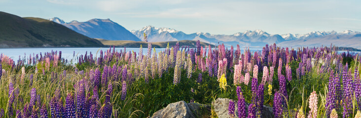 new zealand lupins in spring