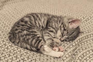 Cute little grey kitten sleeping
