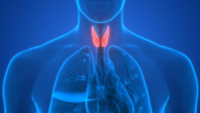 Human Body Glands Anatomy (Lobes of Thyroid Gland)